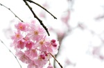 Tautropfen - Kyoto, Japan